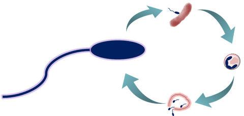 ブデロビブリオ・バクテリオヴォルスが病原菌を死滅させるサイクル(沖縄科学技術大学院大学提供)