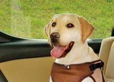 愛犬と安全ドライブのベストハーネス 後部座席につなぎ、そのまま散歩にも