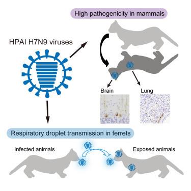 脳と肺にウイルスが増殖、死亡したフェレットの図(「セル・ホスト&マイクローブ」誌の論文より)
