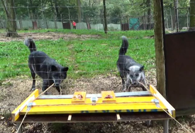 協力してロープを引き合うオオカミ(米国立科学アカデミー紀要「PNAS」の論文に付けられた実験の様子を撮った動画より)