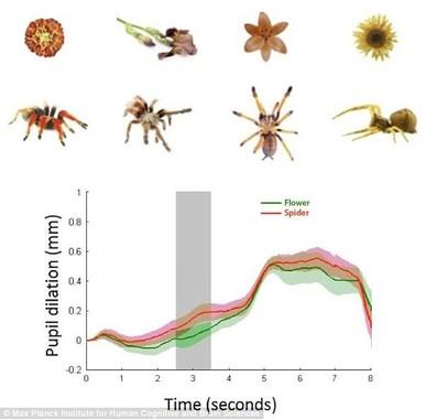 赤ちゃんが同じサイズ・色の花の代わりにクモを見た瞬間、瞳孔が大きく拡張したグラフ(MPIのプレスリリースより)