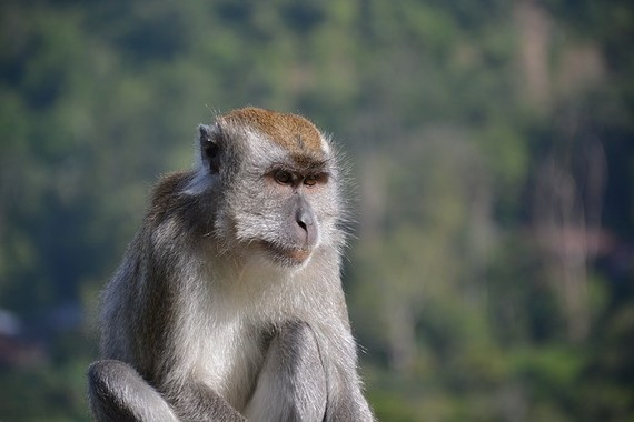 サルが人の骨髄移植の謎解明のカギとなるか(画像はインドネシアに生息するカニクイザル)