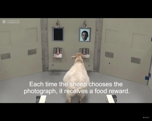 実はかなり賢かった羊たち(画像はケンブリッジ大学が公開している実験の様子)