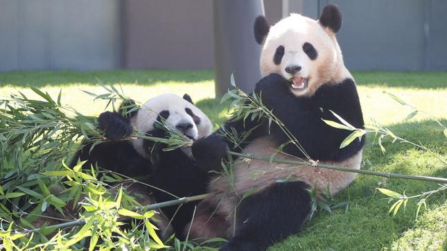 アドベンチャーワールドのパンダ(画像はWikimedia Commonsより、Viamediaさんが2012年に撮影)