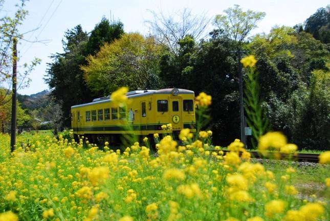 いすみ鉄道は沿線に植えられた菜の花で人気だ