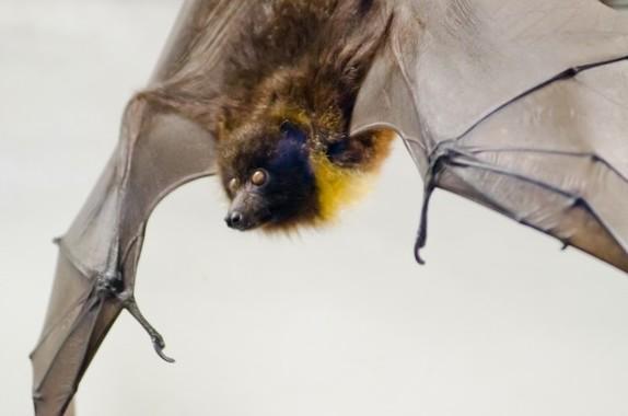コウモリが媒介する「ニパウイルス」がインドで流行(画像はイメージ)