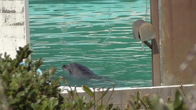 背中に傷もあったイルカのハニー(写真は、PEACE提供)
