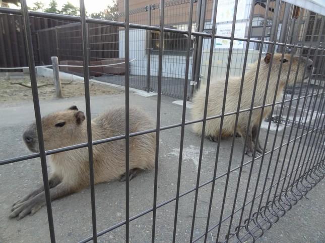5月のブログに掲載された、まるお(左)とおもち(右)(写真提供:日立市かみね動物園)