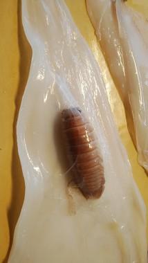 さばかれたヤリイカ。薄皮と胴体の間にオオグソクムシがいる(写真提供:ツジタアヤ(@tsujita_aya)さん)