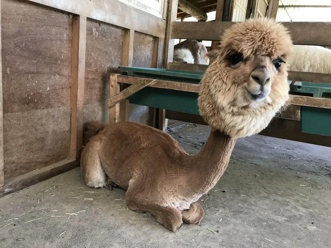 毛刈りされたアルパカ(イワナの里-のんびりアルパカ牧場(@nonbirialpaca)提供)