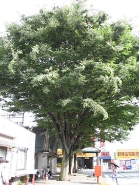 東村山市にある「志村けんの木」(ITA-ATUさん撮影、Wikimedia Commonsより)