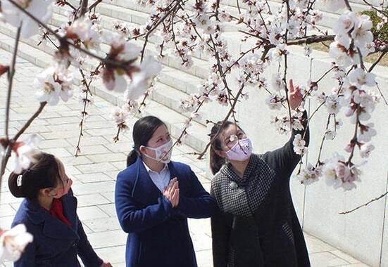 平壌市民は花見もマスク姿だ(写真は労働新聞ウェブサイトから)