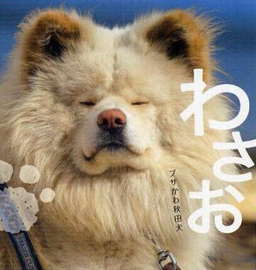 わさおの写真集『わさお ブサかわ秋田犬』(主婦の友社)