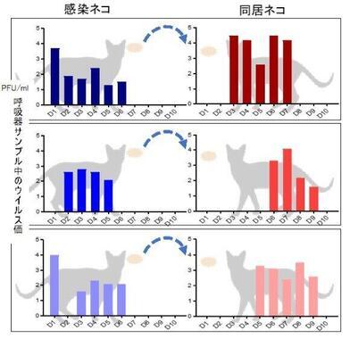 新型コロナウイルスが猫から猫に感染するかを調べた実験のイメージ(東京大学医科学研究所の資料から)