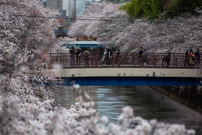 目黒川沿いの桜並木(写真:AP/アフロ)
