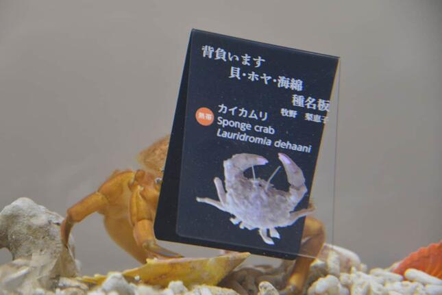 種名板を背負うカイカムリ(提供:ニフレル)