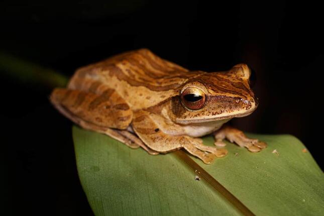 特定外来生物のシロアゴガエル(写真:Alamy/アフロ)