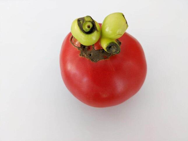 規格外のトマト
