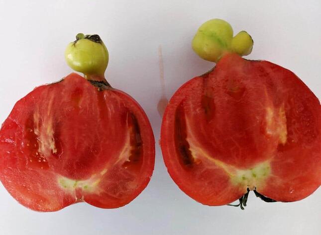 トマトの断面図