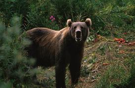 クマを山に帰すのは難しい