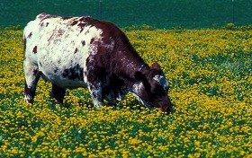 牛ふんが燃料として期待されている(写真はイメージ)