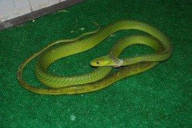 男が咬まれたのと同じ「グリーンマンバ」。毒ヘビが野放し状態だ