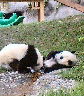 パンダの死が日中関係に影響?(写真はイメージ)