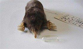 センカクモグラの剥製標本(提供:横畑泰志・富山大准教授)