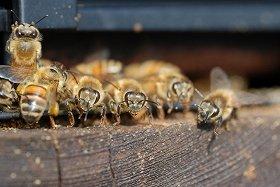突然ミツバチが消える不思議