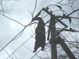 電線に宙づり状態で発見されたクマ(東北電力提供)