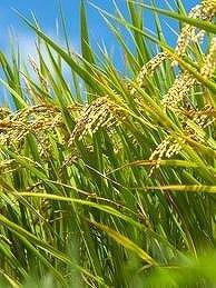 11年産米について、農水省は「量的な心配はない」というが…(写真はイメージ)