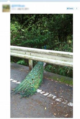 小豆島で撮影された「野良クジャク」