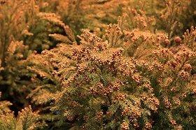 大量の飛散が予想されるスギ花粉