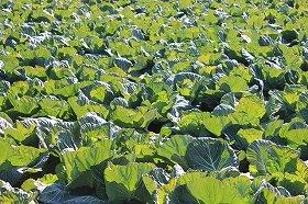 一部野菜は海外にも出荷できず(写真はイメージ)