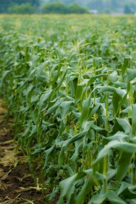 米国の干ばつ被害でトウモロコシ価格が高騰している