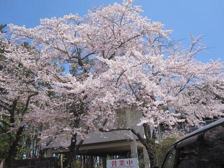 溢れんばかりの桜