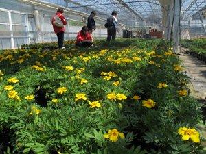 慈愛福祉学園の温室一面にマリーゴールドの苗が。利用者の方々が心を込めて作っています(2012年4月28日 岩手県大船渡市)