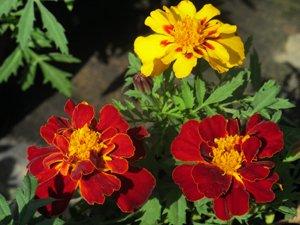 マリーゴールドの花言葉は「命の輝き」。その言葉通り、温室の花たちは輝くように咲き誇っていました(2012年4月28日 岩手県大船渡市)