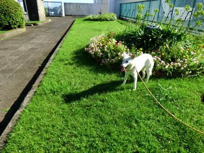 サロンがあるビルの屋上庭園で お散歩する チビ