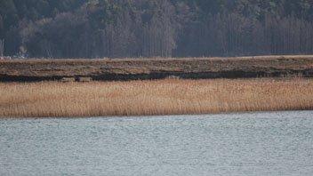 北上川に群生するヨシ