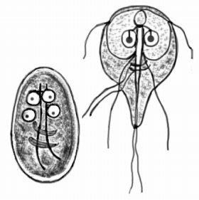 群馬県の水道水から発見されたジアルジア(ランブル鞭毛虫)