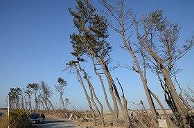 津波でなぎ倒されそうになりながら、かろうじて残った松林の一部(仙台市若林区荒浜、2013年3月23日撮影)