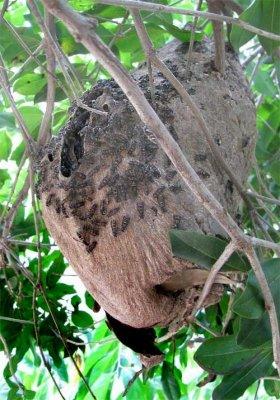 スズメバチの巣を刺激する行為は極めて危険。自慰ならぬ自殺行為だ(イメージ)