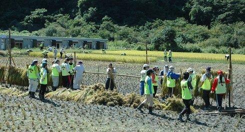 稲刈りは晴天の下で行われた=2013年9月24日、大槌町小鎚の小鎚第5仮設団地