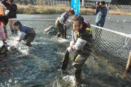サケのつかみどりは大槌川に生簀をつくって行われた=2013年12月1日、大槌町の大槌川河川敷