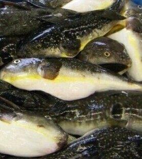 越前町沖ではマフグが大漁!(写真はイメージ)