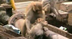 サルの「美談」、実は人間の誤解だった? 気絶状態の仲間を救助したように見えたが...