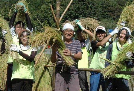 昨年秋の稲刈りは地元やボランティアの人たちで行われた=2013年9月24日、大槌町小鎚