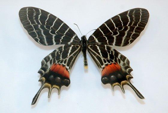 展示されたブータンシンボリアゲハの標本=2014年10月4日、大槌町中央公民館
