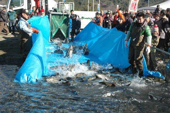 天然のいけすに放流されるサケ=2014年12月7日、大槌川河川敷
